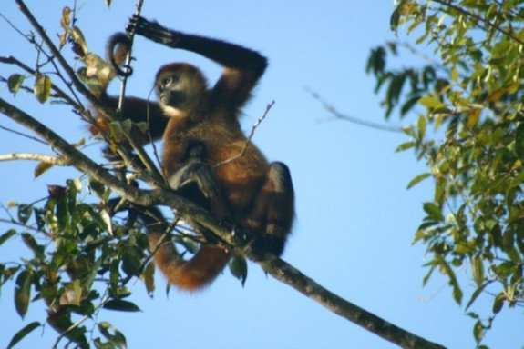 A monkey in Tortuguero National Park, Costa Rica